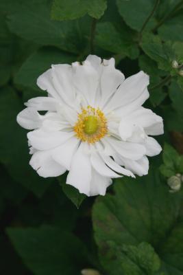 Anemone × hybrida 'Whirlwind' (Whirlwind Japanese Anemone), flower, full