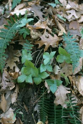 Anemone acutiloba (Sharp-lobed Hepatica), habit, fall