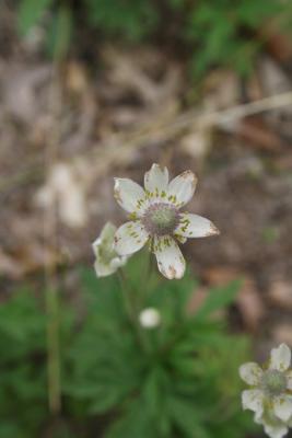 Anemone cylindrica (Thimbleweed), flower, full