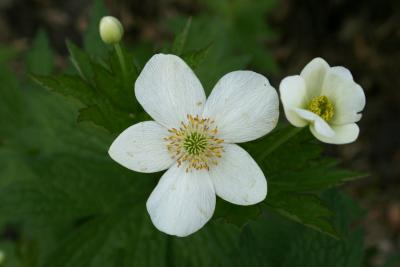Anemone canadensis (Canada Anemone), flower, full