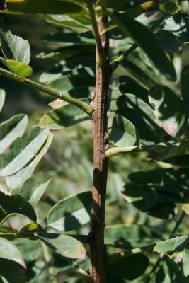 Amorpha fruticosa (Indigo-bush), bark, stem