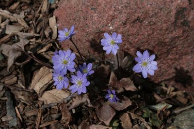Anemone acutiloba (Sharp-lobed Hepatica), habit, spring, flower, full