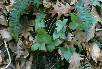 Anemone acutiloba (Sharp-lobed Hepatica), leaf, fall