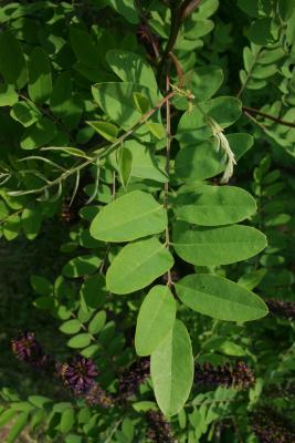 Amorpha fruticosa (Indigo-bush), leaf, upper surface