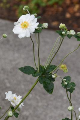 Anemone × hybrida 'Whirlwind' (Whirlwind Japanese Anemone), habit, fall, flower, full
