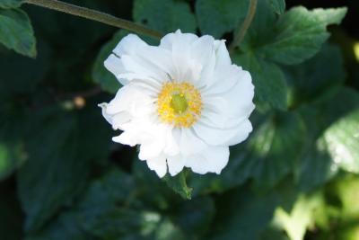 Anemone × hybrida 'Whirlwind' (Whirlwind Japanese Anemone), flower, throat
