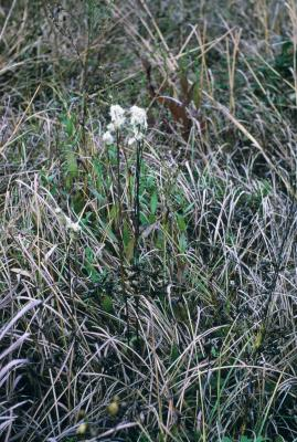Anemone cylindrica (Thimbleweed), habit, fall