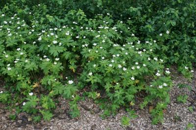 Anemone canadensis (Canada Anemone), habit, spring