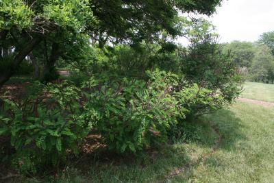 Amorpha fruticosa (Indigo-bush), habit, summer