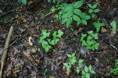 Anemone acutiloba (Sharp-lobed Hepatica), habit, spring