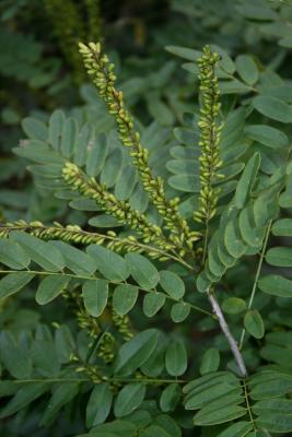 Amorpha fruticosa (Indigo-bush), infructescence, fruit, immature