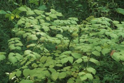 Aralia racemosa (American Spikenard), habit, summer