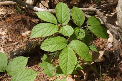 Aralia nudicaulis (Wild Sarsparilla), habit, summer