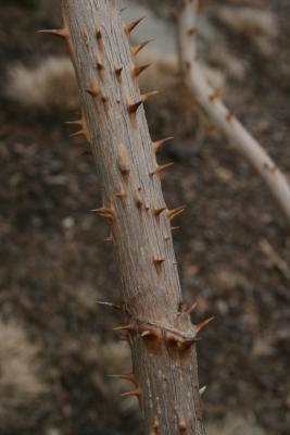 Aralia spinosa (Devil's Walking Stick), bark, stem
