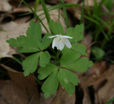 Anemone quinquefolia (Wood Anemone), flower, full