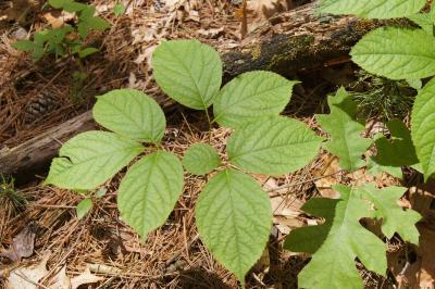 Aralia nudicaulis (Wild Sarsparilla), leaf, summer