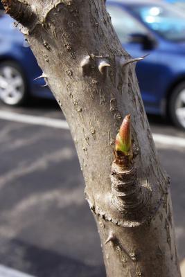 Aralia spinosa (Devil's Walking Stick), bud, terminal