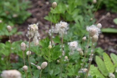 Anemone sylvestris (Snowdrop Anemone), infructescence