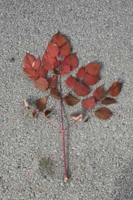 Aralia spinosa (Devil's Walking Stick), leaf, fall