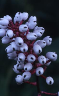 Actaea pachypoda Elliott (white baneberry), fruit