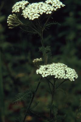 Achillea millefolium (yarrow), flowering stalks