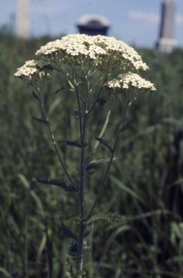 Achillea millefolium (yarrow), habit