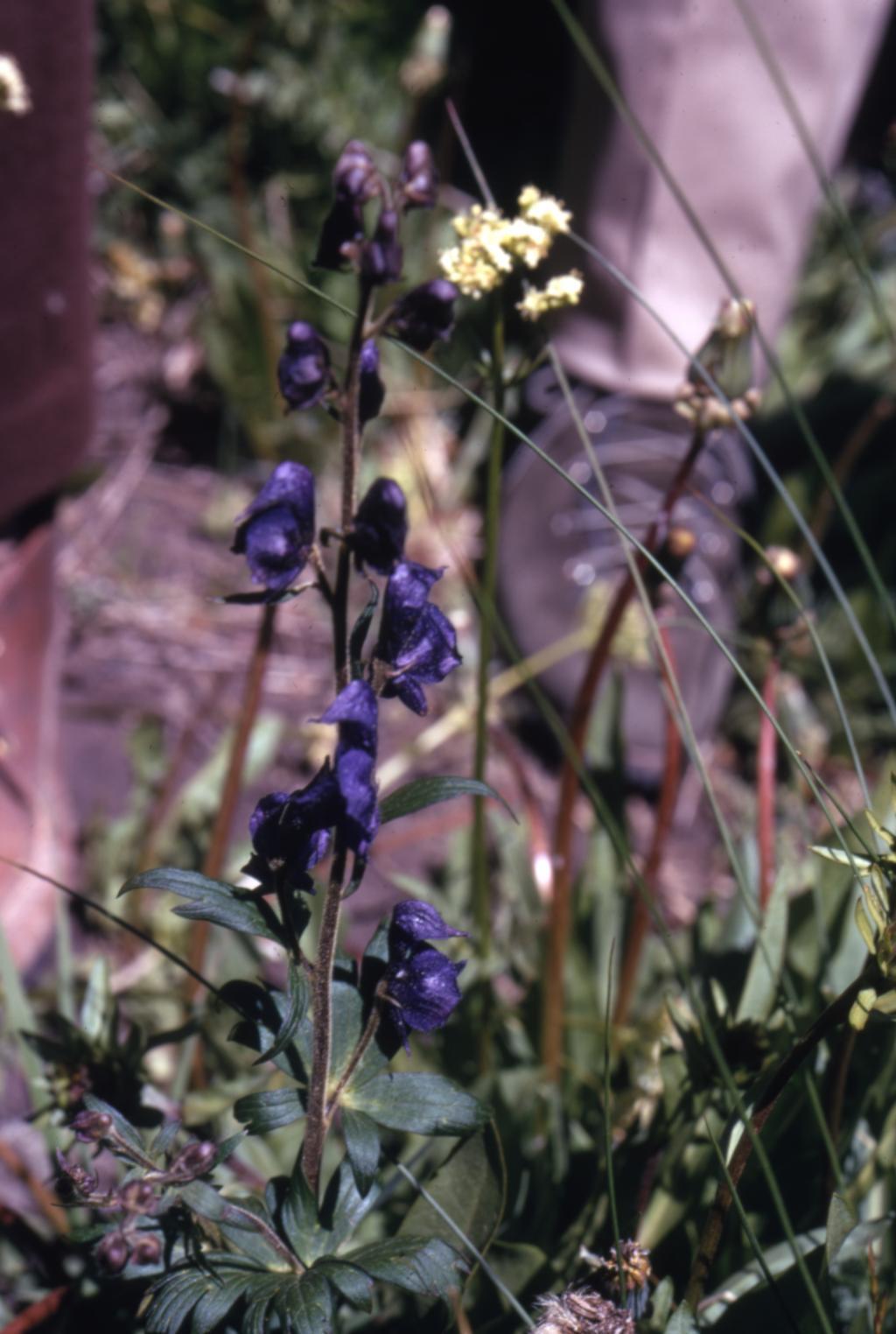 Aconitum uncinatum L. (southern blue monkshood), habit