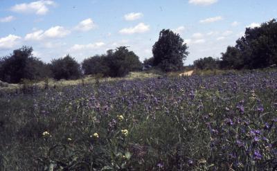 Achillea millefolium (yarrow), habitat