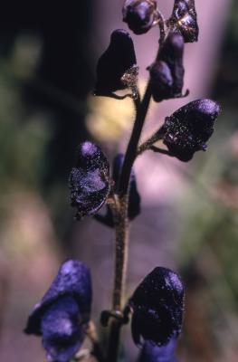Aconitum uncinatum L. (southern blue monkshood), flowers