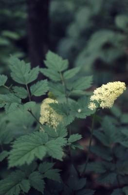 Actaea pachypoda Elliott (white baneberry), inflorescence