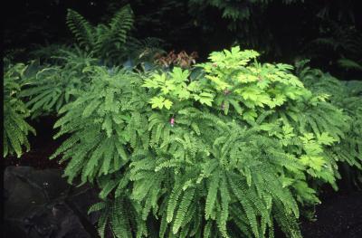Adiantum pedatum L. (maidenhair fern), habitat