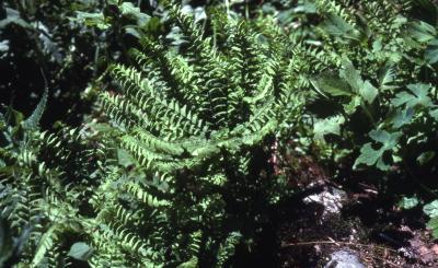 Adiantum pedatum L. (maidenhair fern, fronds