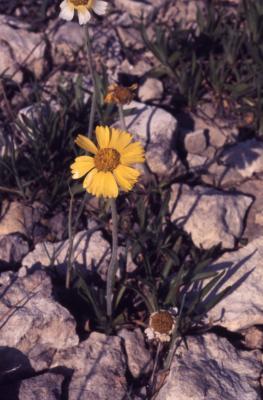 Tetraneuris herbacea Greene (lakeside daisy), flower