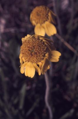 Tetraneuris herbacea Greene (lakeside daisy), flowers