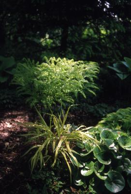Adiantum pedatum L. (maidenhair fern), habit