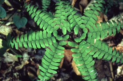 Adiantum pedatum L. (maidenhair fern), fronds