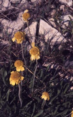 Tetraneuris herbacea Greene (lakeside daisy), habit, flowers