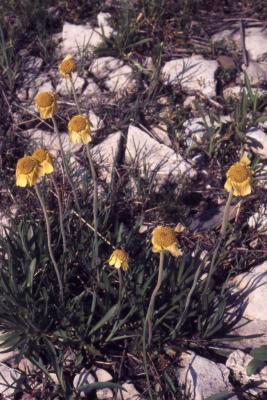 Tetraneuris herbacea Greene (lakeside daisy), habit