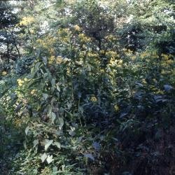 Verbesina alternifolia (L.) Britt. ex Kearney (wingstem), habit