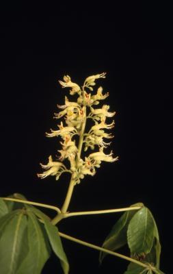 Aesculus glabra var. leucodermis Sarg. (whitebark Ohio buckeye), inflorescence