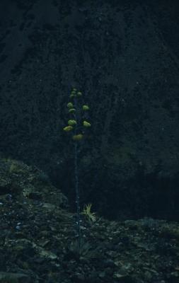 Agave palmeri Engelm. (Palmer's century plant), habit
