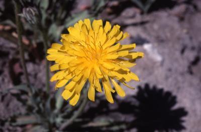 Agoseris glauca (Pursh) Raf. (pale agoseris),  flower