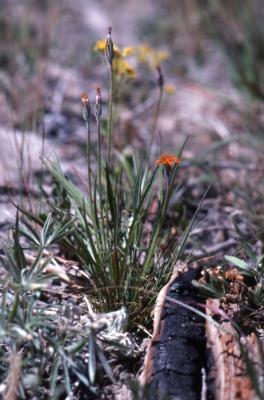 Agoseris aurantiaca (Hook.) Greene (orange agoseris), habit