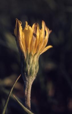 Agoseris glauca (Pursh) Raf. (pale agoseris) , flower