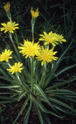 Agoseris cuspidata (Prairie Dandelion), flowers