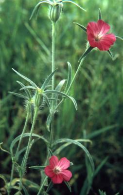 Agrostemma githago L. (common corncockle), flower, stem