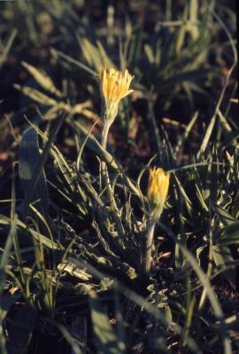 Agoseris glauca (Pursh) Raf. (pale agoseris), flowers