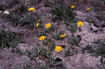 Agoseris glauca (Pursh) Raf. (pale agoseris), habitat