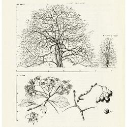 Crataegus crus-galli L. Cockspur Thorn: (Rosaceae) Rose Family