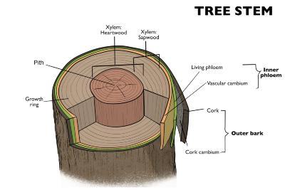 Tree Stem Illustration